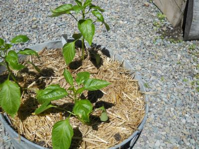 mulched peppers.JPG