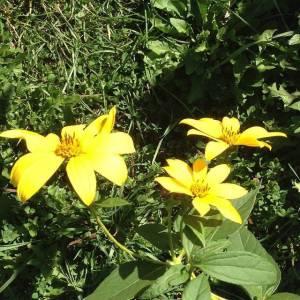 sunchoke-flowers