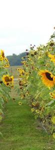 KarenAckermanSunflowers