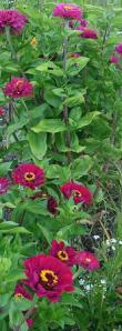 KarenAckermanZinnias