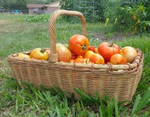 TomatoHarvestAngiSchneider
