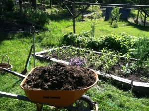 A wheelbarrow full of compost for the Organic Oasis
