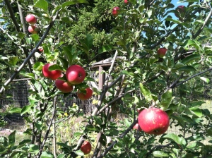An Apple Tree in the Organic Oasis