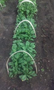 SpinachHoops?