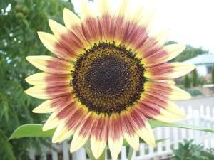 FGGSunflowerProfilePic