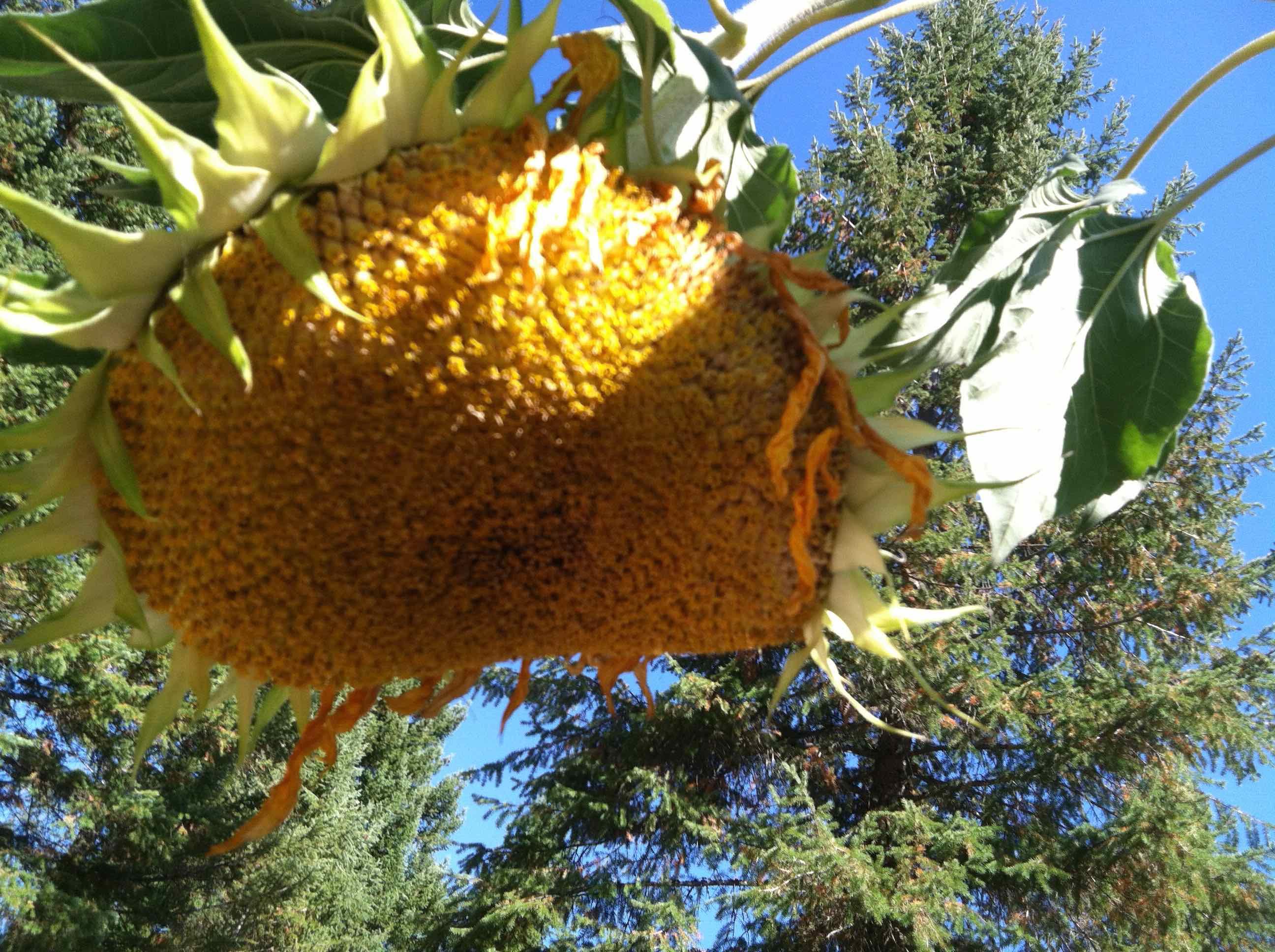 LargeMSsunflower