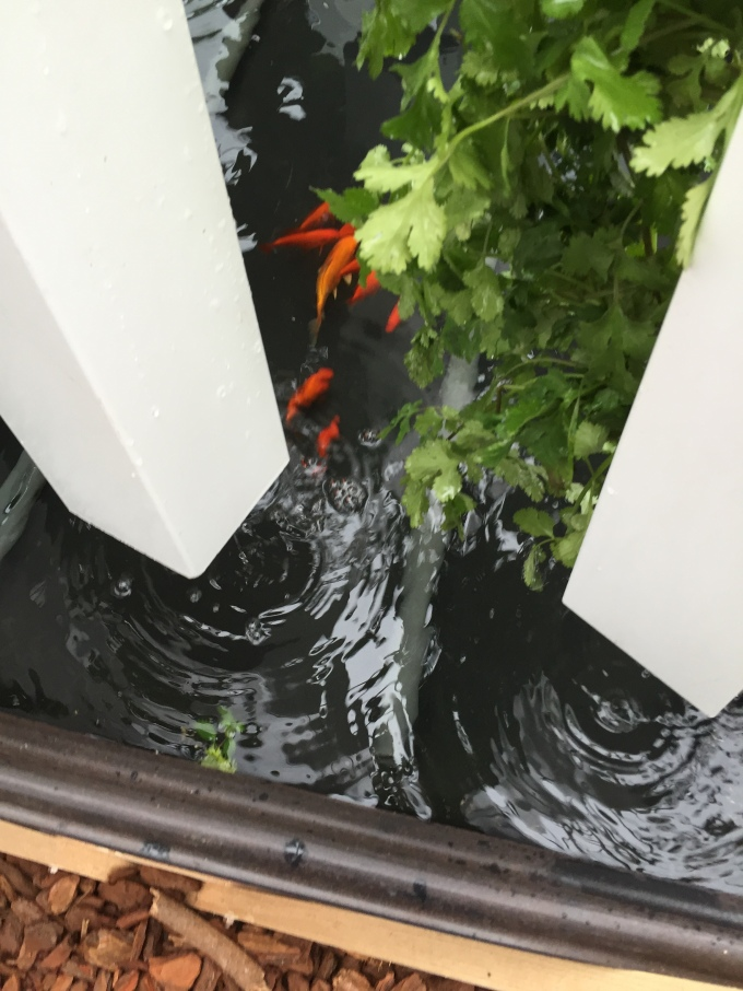 aquaponics fish system from My Food