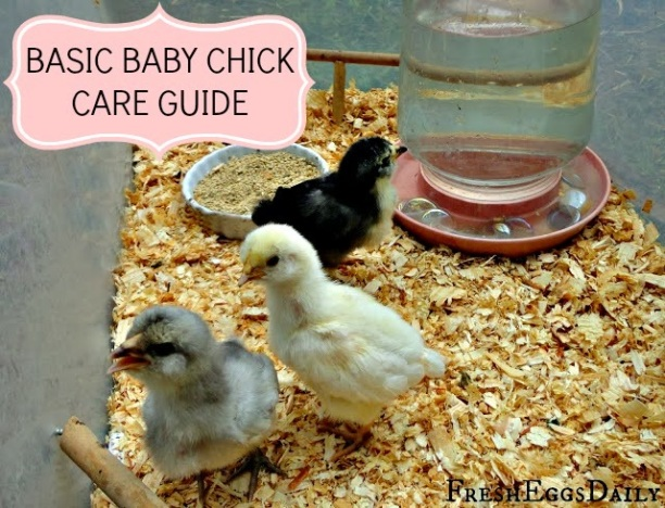 baby chick care guide fresh eggs daily