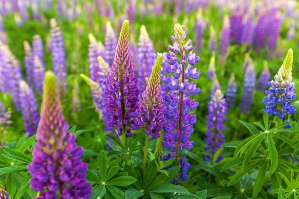 bigstock-Lupin-Flower-Garden-Lupin---92755760.jpg