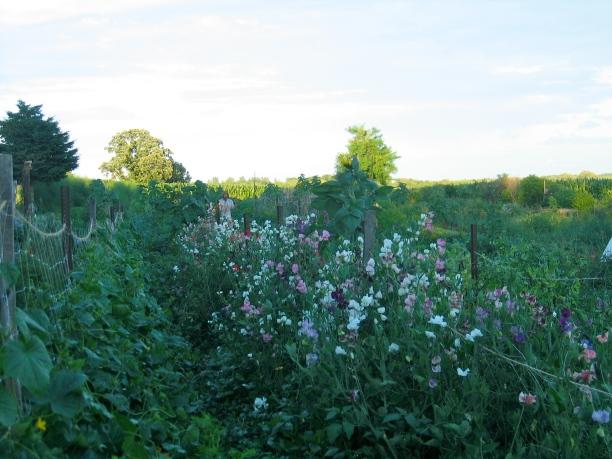 Willoway Farm Flowers In Field