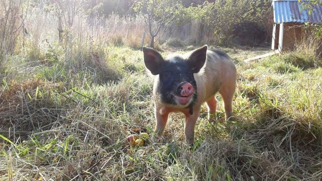 kune kune saddleback cross piglet