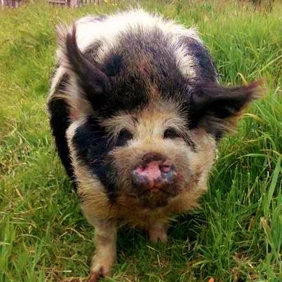 Boris the Kune Kune Boar Pig