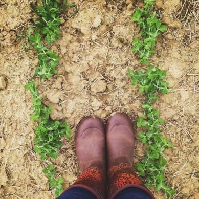 Honest To Goodness Farms Sweet Peas