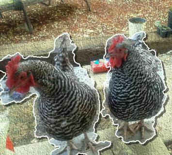 Pepper and Henrietta chickens
