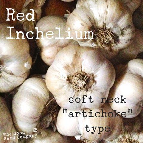 Good Sed Co Red Inchelium Garlic