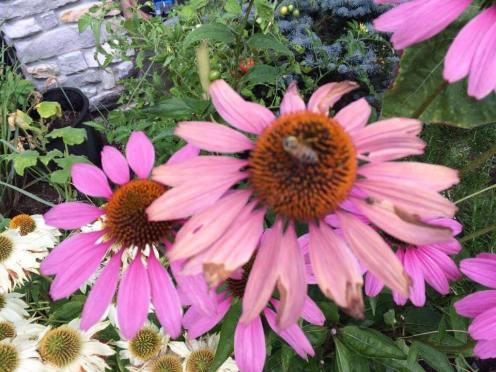Gina Kane Echinacea bee