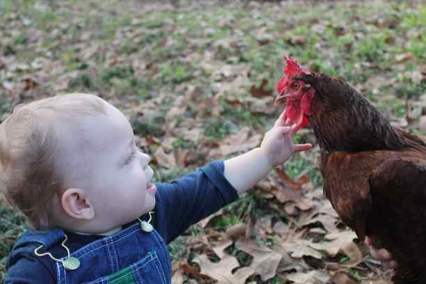 Baby petting chicken