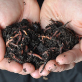 Planet Natural Vermiculture composting worms