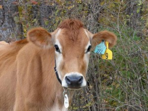 Jersey Milk Cow Nourishing Traditions Farmstead