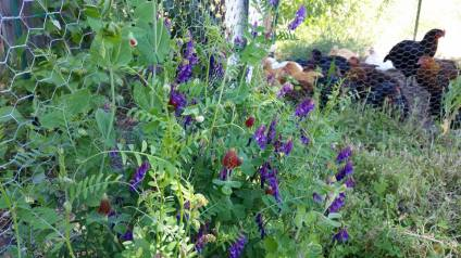 Flathead Farmworks Flowers and Chickens