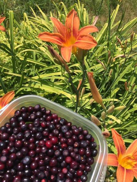 Huckleberries with day lily