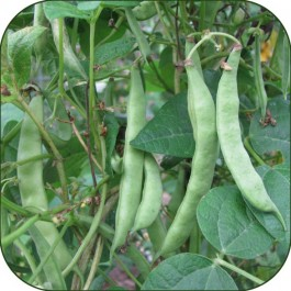 Tarheal Heriloom Beans