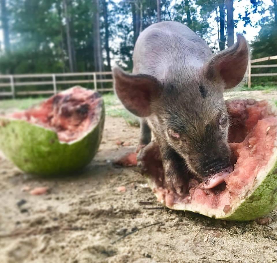 WatermelonPiglet