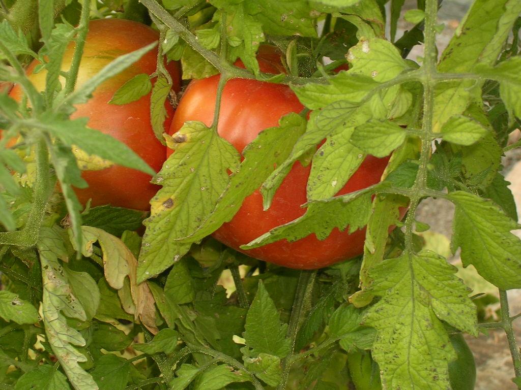 Tomatoes06