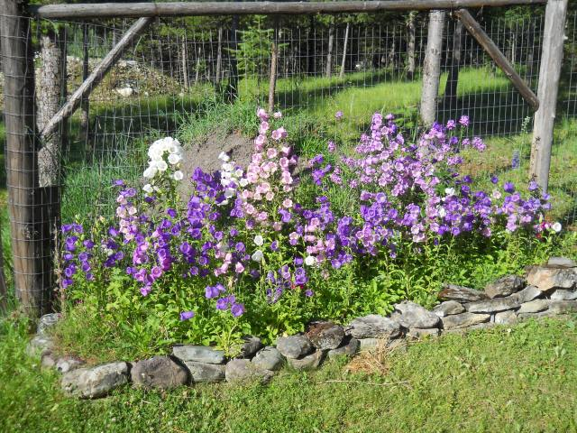 Canterbury Bells Perennials August 17, 2011
