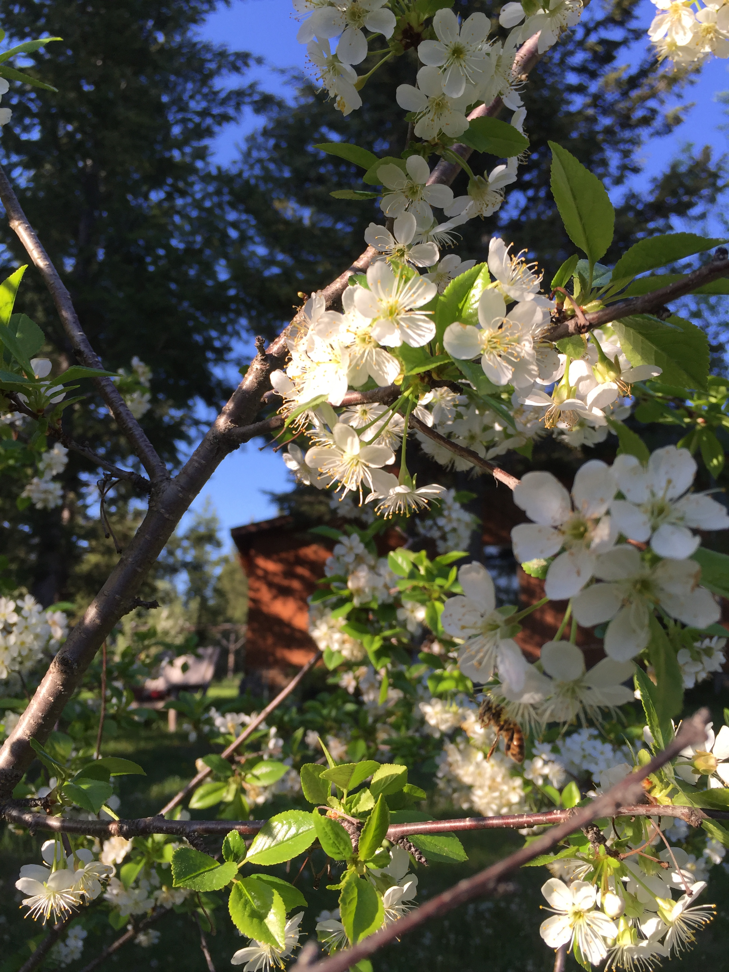 Pear Tree Blooming May 2016
