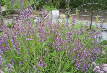 Blooming Sage Plant in Mike's Green Garden