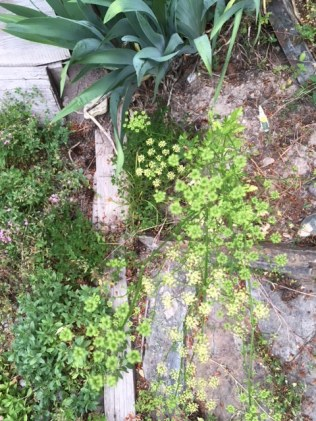 Cilantro seed that bolted already this spring