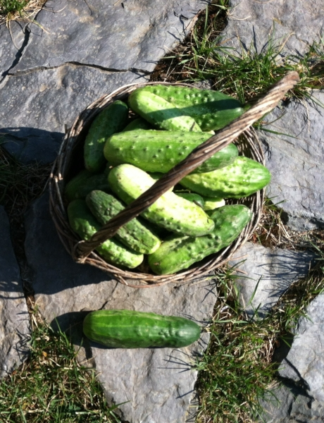 cukes in basket
