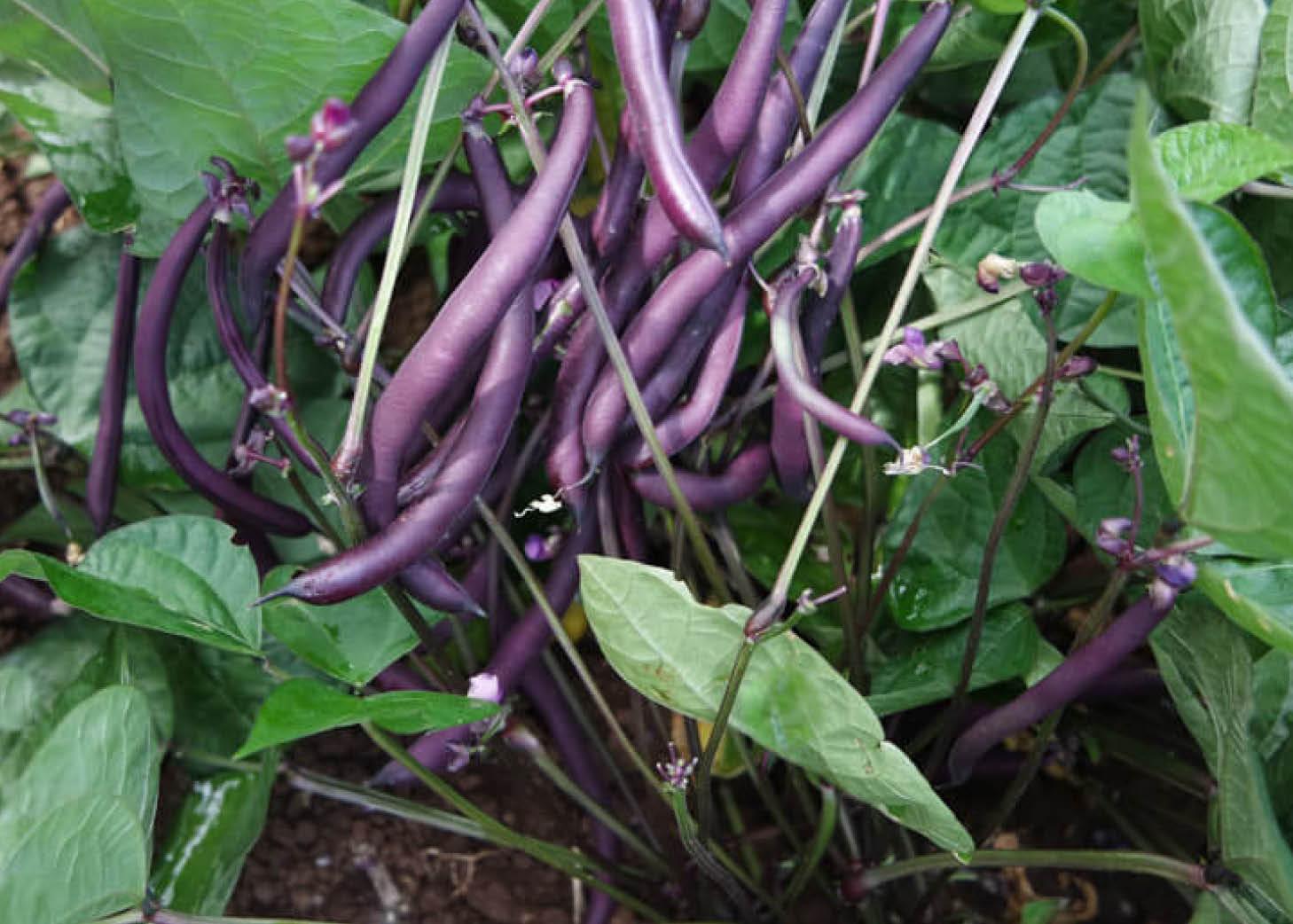 Robert's Royalty Beans Small House Farm