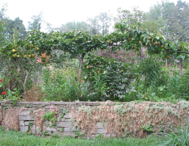 Asian pear espalier.jpg
