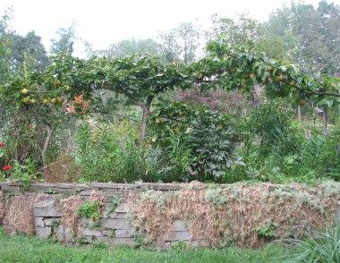 Asian pear espalier.jpg