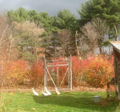 "Blueberry ""temple"" & ducks in fall.jpg"