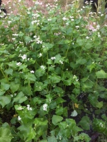Buckwheat growing food for soil