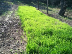 growing Wheat cover crop at the Minifarm