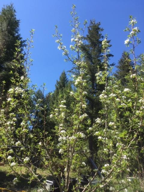 pear tree in bloom 2019